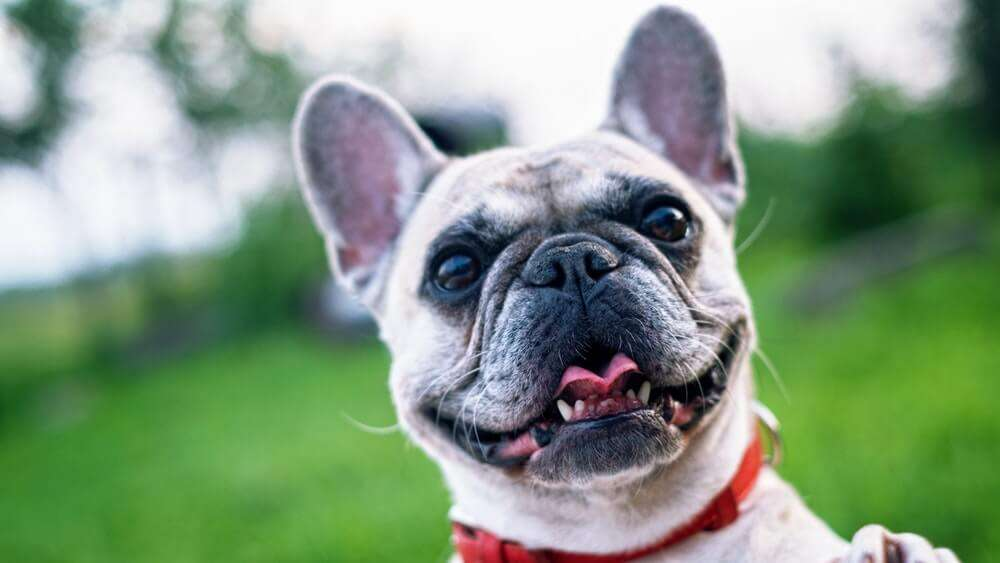 Appearance of French Bulldog